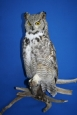 Owl- Great Horned 12