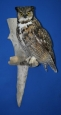 Owl- Great Horned 13