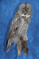 Owl- Great Grey 16