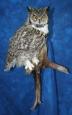 Owl- Great Horned 14