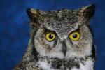 Owl- Great Horned 15