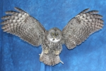 Owl- Great Grey 17