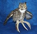 Owl- Great Horned 16