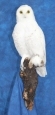 Owl- Snowy 13