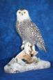Owl- Snowy 10