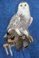 Owl- Snowy 14