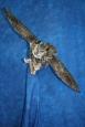 Owl- Great Horned 19