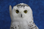 Owl- Snowy 16