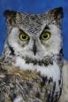 Owl- Great Horned 29