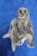 Owl- Great Horned 30