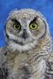 Owl- Great Horned 31
