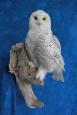 Owl- Snowy 17