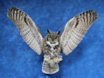 Owl- Great Horned 32