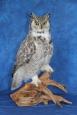 Owl- Great Horned 33