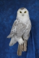 Owl- Snowy 19