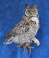 Owl- Great Horned (molting)