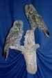 Owl- Great Grey 04