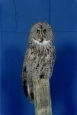 Owl- Great Grey 01