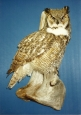 Owl- Great Horned 03