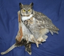 Owl- Great Horned 04