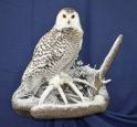 Owl- Snowy 03