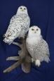 Owl- Snowy 05