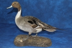 Duck- Pintail 02