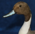 Duck- Pintail 03