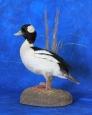 Duck- Bufflehead 01
