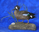 Duck- Blue Winged Teal 01