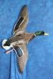 Duck- Mallard 09