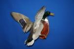 Duck- Mallard 04