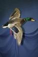 Duck- Mallard 01